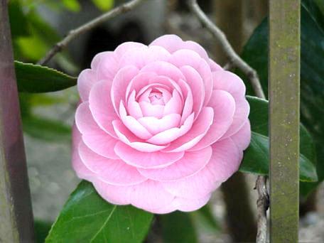 Photo of Camellia (Tsubaki)